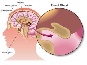 Circadian rhythms, the pineal gland and melatonin